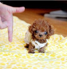 Things I respect about the Athletic Poodle Puppy Micro Teacup Poodle, Teacup Poodle Puppies, Micro Teacup Puppies, Poodle Puppies For Sale, Tea Cup Poodle, Tiny Puppies, Cute Puppies, Cute Dogs, Teacup Poodles For Sale