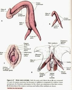 .internal anatomy of the clitoris.