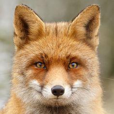 12 renards nous prouvent que les animaux ont une personnalité