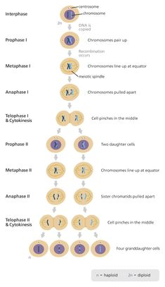 Science 9 biological diversity biology What is meiosis? Biology Facts, Biology Lessons, Cell Biology, Ap Biology, Teaching Biology, Science Biology, Life Science, Biology Projects, Learn Biology