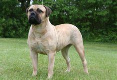 Breed Briefing: Bullmastiff - Pets Are Inn Best Guard Dog Breeds, Top Dog Breeds, Best Guard Dogs, Akc Breeds, Bullmastiff, Giant Dogs, Big Dogs, Dog Breed Info, Dangerous Dogs