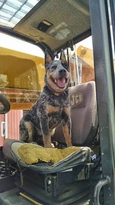 ~~~~~lol of course a cattle dog wants to drive!