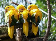 """""""Golden Parakeets"""" and are native to Brazil ~ and are on the endangered species list ~ They look like pure Sunshine ~ Once more, God's creation is amazing ~♥"""