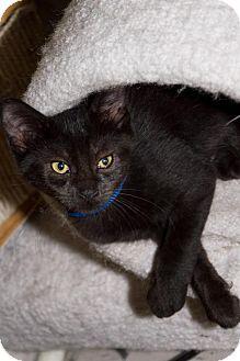 Philadelphia, PA - Domestic Shorthair. Meet Indigo, a cat for adoption. http://www.adoptapet.com/pet/15068359-philadelphia-pennsylvania-cat