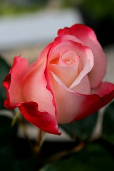 Peachy-pink rose with red petal tips Amazing Flowers, Beautiful Roses, My Flower, Beautiful Gardens, Beautiful Flowers, Bloom, Rosa Rose, Coming Up Roses, Pink Roses