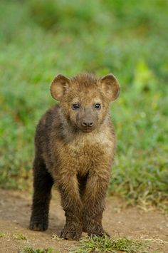 Spotted Hyena | 9 Baby Animals You'll Find On An African Safari