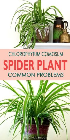 Easy fixes for common spider plant problems. Brown tips on leaves, yellow or droopy leaves. Troubleshoot what's wrong with your plant and get quick  solutions! Let's talk plants! modandmint.com #indoorplants #hangingplants #spiderplant #houseplants Real Plants, Water Plants, Growing Plants, House Plants Decor, Plant Decor, Spider Plant Babies, Indoor Water Garden, Chlorophytum, Plant Lighting