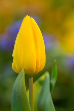 """yellow tulip - This beauty flower i found at the botanical garden. More pictures here: <a href=""""http://www.facebook.com/norlies1"""">facebook</a>"""