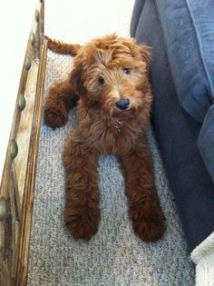 Why is a Dog's Diet Important? English Goldendoodle, Goldendoodle Haircuts, Standard Goldendoodle, Mini Goldendoodle Puppies, Goldendoodles, Labradoodles, Cockapoo, Cute Puppy Photos, Dog Best Friend