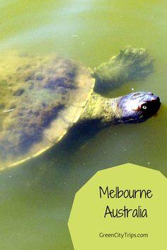 Nice turtle in Melbourne, Australia | ©GreenCityTrips http://greencitytrips.com/destination/melbourne/