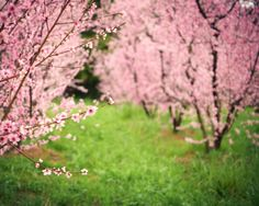"Landscape photography, spring orchard, pink flowers, pink and green, dreamy colorful nursery room decor  ""Wonder"" by LupenGrainne on Etsy https://www.etsy.com/listing/128352745/landscape-photography-spring-orchard"