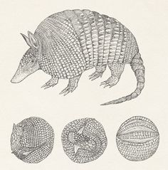 ((( armadillo )))    New York Times illustration by Katie Scott