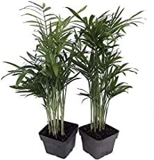 How To Care For Parlor Palm Plant In 2020