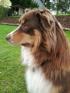 copper tri-color australian shepherd - Google Search