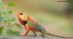 Colour changing lizard