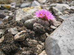Pelecyphora aselliformis, La Tinaja SGS1