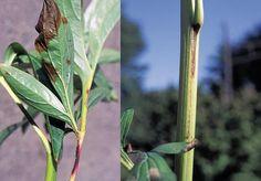 manchas roxo-marrom na folha peônia e faixas da mesma cor em hastes são sinais de botrytis peônia.http://www.michigangardener.com/category/janets-journal/