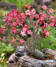 Image credit: Zulily Desert Rose 15 Cute Bonsai Plants You Would Want To Take Home Right Now Patio Plants, Garden Plants, House Plants, Bonsai Plants, Potted Plants, Desert Rose Plant, Desert Plants, Desert Flowers, Ikebana