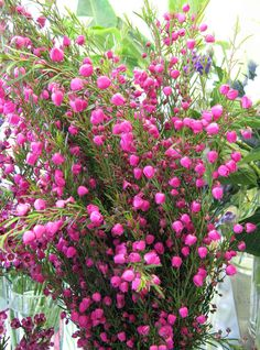 This week in the studio I have a beautiful bunch of fresh Boronia. Boronia is a flower that is native to Australia and has the most intoxicating aroma, with notes of raspberry and freesia. This little fuchsia flower the inspiration and heart of my solid perfume by the same name.