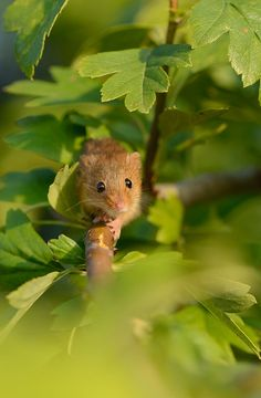 Harvest Mouse   Captive subject   Ben Andrew   Flickr