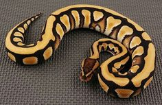 Wild Animals, Cute Animals, Python Royal, All About Snakes, Python Regius, Ball Python Morphs, Cute Snake, Beautiful Snakes, Cobra