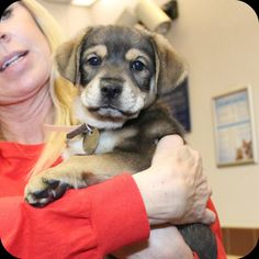 Darling (NCR2218)Adopted!2-month old Shep/Hound X