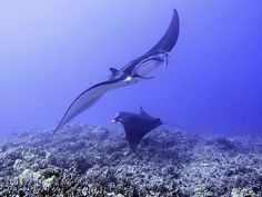 Two manta rays off the coast of Kona, Hawaii. #scuba