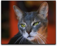 blue abyssinian cat 6 Funny Cat Wallpapers
