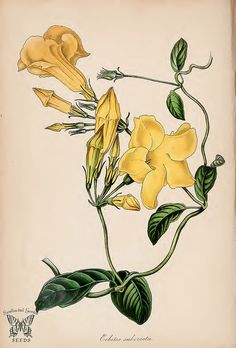 Yellow Mandevilla. Pentalinon luteum [as Echites suberecta]. (Paxton's) Magazine of Botany and Register Vol. 7 (1840)