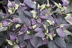 Purple Flash Ornamental Chili - Monrovia - Purple Flash Ornamental Chili