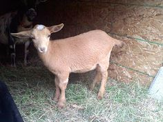 Fields of Grace ST Oriana - Nigerian Dwarf Goat owned by Susurrare Salix (Whispering Willow)