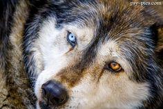 Hybryda psa i wilk WILCZAK (Wolf-dog)