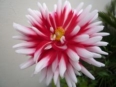 love Dahlias - the madder the better