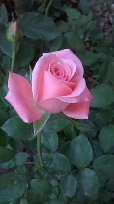 Beautiful Rose Flowers, Beautiful Flowers Wallpapers, Pretty Roses, Flowers Nature, Exotic Flowers, Amazing Flowers, Pretty Flowers, Pink Roses, Pink Flowers