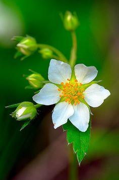 ~~Wild Strawberry (Fragaria virginiana) by manual crank~~ Amazing Flowers, My Flower, White Flowers, Flower Power, Beautiful Flowers, Strawberry Flower, Wild Strawberries, Beltane, White Gardens