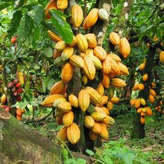 Cool agriculture - Agriculture Job - Ideas of Agriculture Job - Cool agriculture Theobroma Cacao, Cacao Fruit, Fuerza Natural, Growing Fruit Trees, Cash Crop, Cacao Beans, Beautiful Fruits, Mini Farm, Fruit Plants