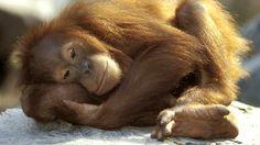http://tsjok45.wordpress.com/2012/12/13/primaten-in-gevaar/  jong vrouwtje leila