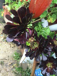 Flores casi negras (laguna de la cocha)