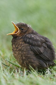 Baby Blackbird | Flickr - Photo Sharing!