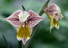 gladiolus watermeyeri