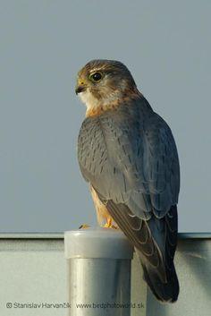 Merlin (Falco columbarius) videos, photos and sound recordings Merlin Bird, Buzzard, Shorebirds, Birds Of Prey, Raptors, Kite, Beautiful Birds, Eagles, Peregrine