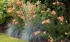 Garden Ideas, Border ideas, Perennial Planting, Perennial combination, Summer Border, Achillea 'Fanal', Achillea The Beacon, Festuca Glauca, Blue Fescue, Achillea Strawberry Seduction, Achillea Red Velvet
