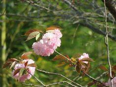 ヤエザクラ. double-flowered cherry tree. 23 April 2017.