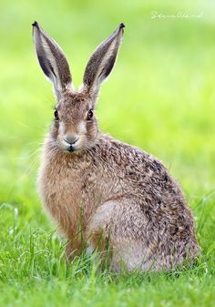 """""""Another beauty by I think we need a hare design for Creature Candy! Cute Baby Animals, Animals And Pets, Beautiful Creatures, Animals Beautiful, Bunny Art, Bunny Pics, British Wildlife, Tier Fotos, Woodland Creatures"""