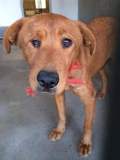 HEARTBREAKING! DUMPED BACK AT THE SHELTER! PLEASE SHARE EVERYWHER! MISTY - ID #A460407 (AVAILABLE NOW, MUST EXIT BY 3/8) ~OWNER SURRENDER~PETHARBOR LINK: http://www.petharbor.com/pet.asp?uaid=SBCT.A460407  San Bernardino City Animal Control at (909) 384-1304 Ask for info about animal ID number A460407  https://www.facebook.com/photo.php?fbid=809386805755229&set=a.658019560891955.1073741848.523520627675183&type=1&theater