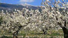 """""""champs de cerisiers dans le luberon""""en Avril-Mai"""
