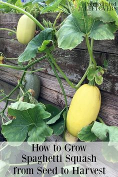 Do you want to grow spaghetti squash in your garden? This guide on how to grow spaghetti squash tells you everything you need to get started. Tips include how to plant spaghetti squash seeds and seedl Veg Garden, Fruit Garden, Garden Pests, Edible Garden, Vegetable Gardening, Garden Care, Harvest Garden, Veggie Gardens, Growing Spaghetti Squash