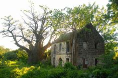 """An African baobab tree by a ruin at Montravers Estate, a former plantation that produced, on average, 110 """"hogsheads"""" (30,000kg) of sugar and around 7,250 gallons (33,000 litres) of rum each year.[14]"""