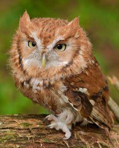 Eastern Screech-Owl - Whatbird.com