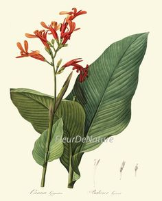 """VINTAGE BOTANICAL PRINT - A botanical illustration with the title """"Canna gigantea"""". It depicts the species Canna tuerckheimii. by Pierre-Joseph Redouté Vintage Botanical Prints, Botanical Art, Antique Illustration, Botanical Illustration, Plant Illustration, Rue Verte, Impressions Botaniques, Illustration Botanique, Joseph"""